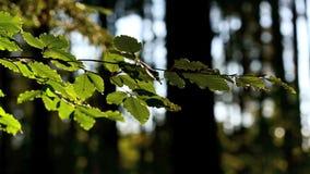 Folhas verdes coloridas de benjamin no vento filme