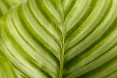 Folhas verdes com as listras no close up foto de stock royalty free