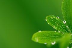 Folhas verdes com gotas Imagens de Stock