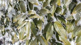 Folhas verdes congeladas inverno, textura, fundo fotos de stock royalty free