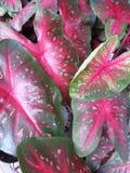Folhas verdes cor-de-rosa vermelhas do caladium Fotos de Stock Royalty Free