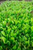 Folhas verdes da alface As folhas frescas, novas e macias da alface crescem no jardim Um tapete verde cont?nuo As larvas s?o laga fotografia de stock