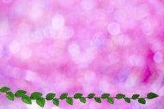 folhas verdes da beira da natureza de Coatbuttons e para borrar o bokeh cor-de-rosa fotografia de stock