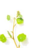 Folhas verdes da chagas no fundo branco Foto de Stock