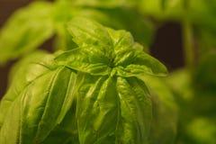 Folhas verdes da erva da manjericão Fotografia de Stock Royalty Free