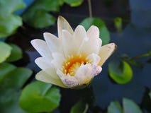 Folhas verdes da folha das flores da flor branca Fotos de Stock