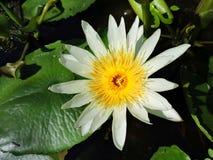 Folhas verdes da folha das flores da flor branca Fotografia de Stock Royalty Free