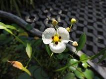 Folhas verdes da folha das flores da flor branca Fotos de Stock Royalty Free