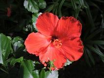 Folhas verdes da folha das flores vermelhas da flor Fotografia de Stock Royalty Free