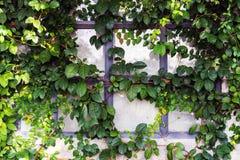 Folhas verdes da hera na parede Fotos de Stock Royalty Free