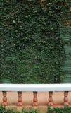 Folhas verdes da hera no muro de cimento imagem de stock