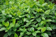 folhas verdes da luxúria imagem de stock
