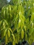 Folhas verdes da manga Imagens de Stock