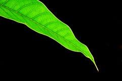 Folhas verdes da manga isoladas no fundo branco Fotografia de Stock
