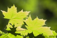 Folhas verdes da mola Imagem de Stock