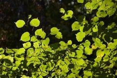 Folhas verdes da mola Foto de Stock