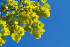 Folhas verdes da mola Fotografia de Stock