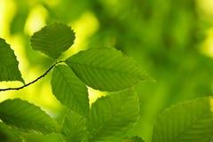 Folhas verdes da mola Imagem de Stock Royalty Free