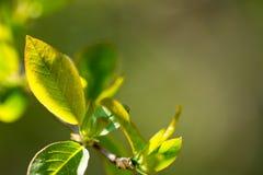 Folhas verdes da mola Fotos de Stock Royalty Free