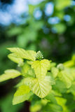 Folhas verdes da mola Foto de Stock Royalty Free