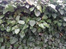 Folhas verdes da mola da hera na cerca Imagens de Stock Royalty Free