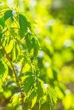 Folhas verdes da mola de um close-up novo das uvas, backlit Imagens de Stock Royalty Free