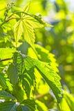 Folhas verdes da mola de um macro novo das uvas, backlit Foto de Stock Royalty Free