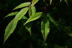 Folhas verdes da mola do mandshuricum Manchurian de Acer do bordo no fundo escuro Fotos de Stock