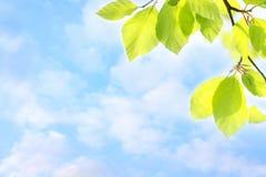 Folhas verdes da mola e céu sonhador Fotografia de Stock