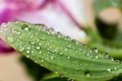 Folhas verdes da mola e do verão com imagem do macro dos waterdrops Imagem de Stock Royalty Free