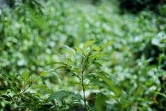 Folhas verdes da mola na natureza Foto de Stock