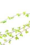 Folhas verdes da mola no branco Fotos de Stock Royalty Free