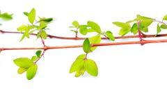 Folhas verdes da mola no branco Fotografia de Stock Royalty Free
