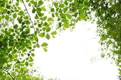 Folhas verdes da mola no fundo branco Fotos de Stock Royalty Free