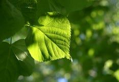 Folhas verdes da mola que incandescem na luz solar Imagem de Stock Royalty Free