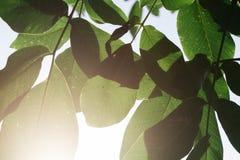 Folhas verdes da noz foto de stock royalty free