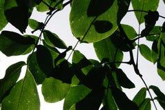 Folhas verdes da noz fotografia de stock