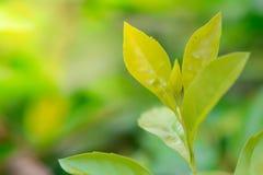 Folhas verdes da parte superior Imagem de Stock