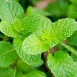 Folhas verdes da pastilha de hortelã foto de stock royalty free