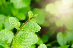Folhas verdes da pastilha de hortelã imagem de stock royalty free