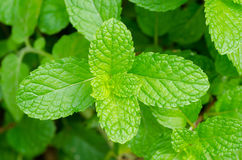 Folhas verdes da pastilha de hortelã imagens de stock