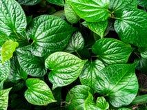 Folhas verdes da planta de Chaplo da vista superior imagem de stock royalty free