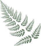 folhas verdes da samambaia no fundo branco Fotografia de Stock