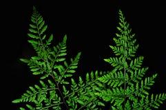 Folhas verdes da samambaia no fundo preto imagens de stock royalty free