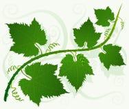 Folhas verdes da uva