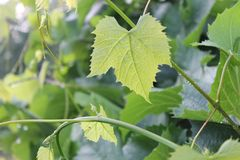 Folhas verdes da uva Nenhuma colheita da uva este ano imagem de stock royalty free