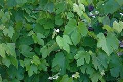 Folhas verdes da videira Foto de Stock Royalty Free