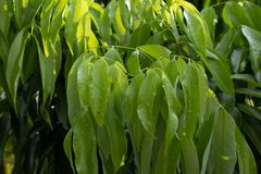 Folhas verdes de árvores do lichi fotografia de stock