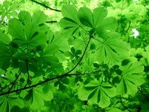 Folhas verdes de uma árvore de castanha do cavalo no tempo de mola imagens de stock