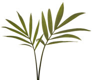 Folhas verdes do bambu isoladas no branco. Foto de Stock